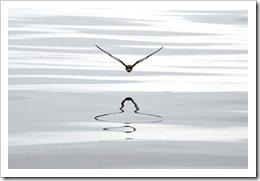 5th_G_Seabird_reflections_IainAnderson_w